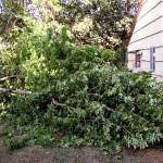 Tree limb lying in yard