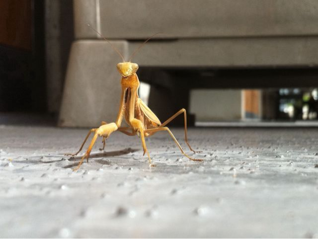 Praying Mantis looking our way