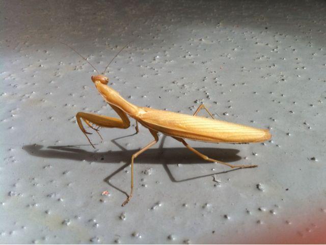 Praying Mantis turning away