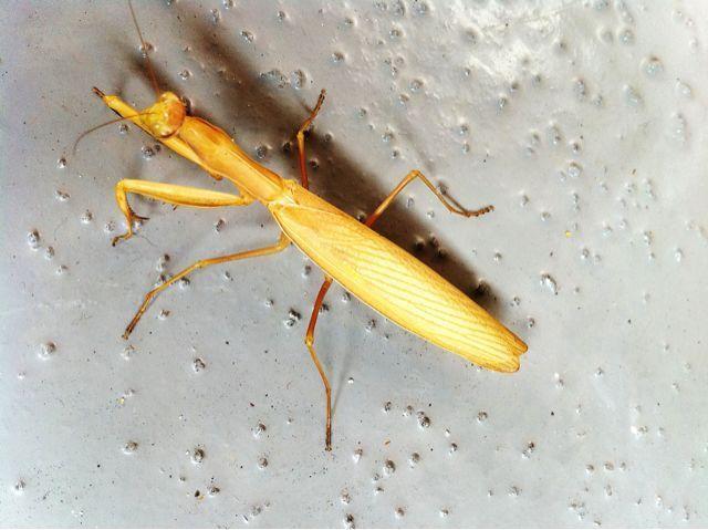 Praying Mantis from above